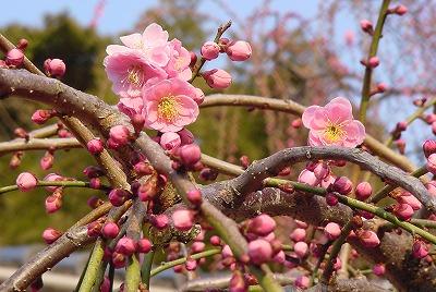 淡路島八木のしだれ梅