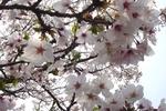賀集八幡神社参道の桜