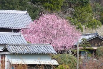080304_shidareume_0014.jpg